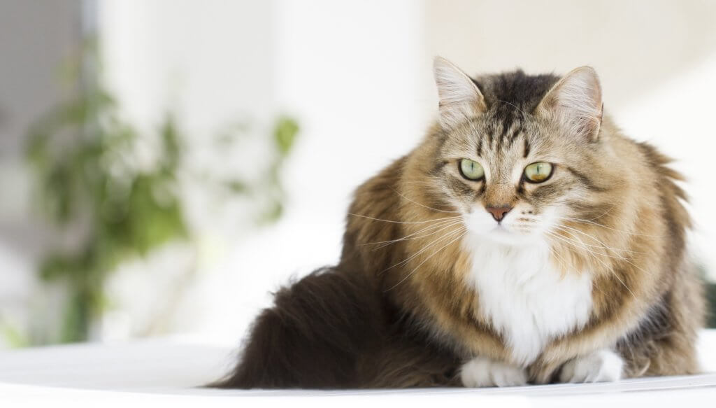 Порода кошек не вызывающие аллергию у людей thumbnail