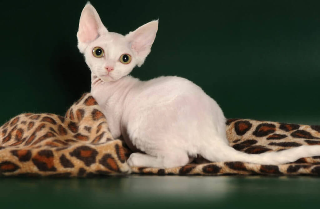 Гипоаллергенный кот